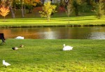 Swans and Ducks at the Swan Pond