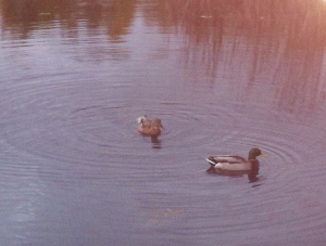 Two Ducks Early Evening