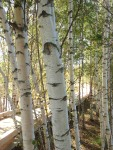 Birches Up Close
